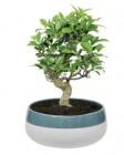 bonsai en coupe