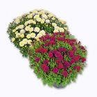 chrysanthegraveme petites fleurs