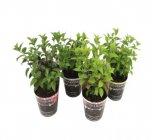 photo Hydrangea paniculata
