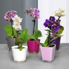 mini orchideacutee