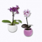 mini orchidee en pot