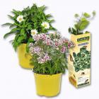 plantes mellifegraveres abeilles / papillons