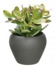 succulente