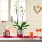 orchidee phalaenopsis2