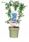 arbre fruitier en espalier