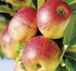 arbuste fruitier