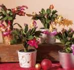 photo Cactus de Noël