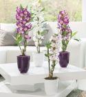photo Dendrobium Nobile