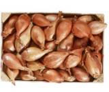 echalotes de semis longues