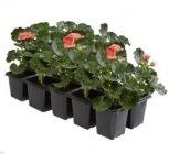 geraniums lierre simple