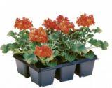 geraniums ou fuchsias