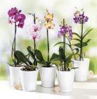 orchidee phalaenopsis 1 tige