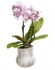 photo Orchidée phalaenopsis 2 tiges