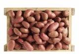 pommes de terre nouvelle recolte cherie