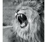 tableau en verre 20x20 deco glass lion