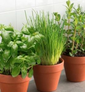 herbes aromatiques bio en pot