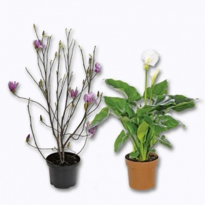magnolia ou grand calla drsquoexteacuterieur