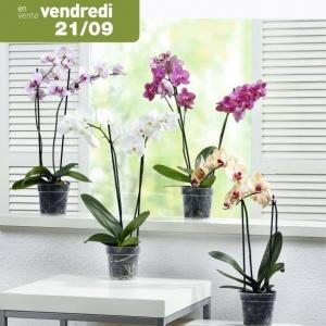 orchideacutee phalaenopsis