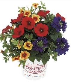 Plantes Vivaces Confetti 3 plantes